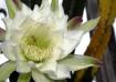 Cactus Flower & B...