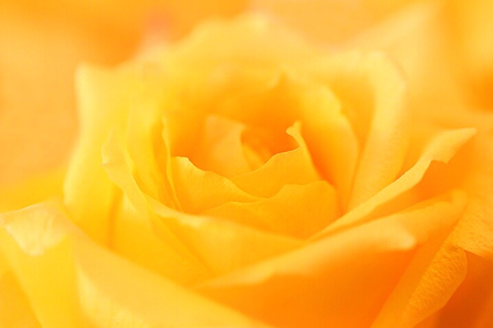 Sunny Rose - ID: 5217543 © Janine Russell