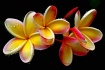Plumeria After th...
