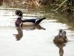 Wood Duck Couple