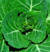 Organic Brussel S...