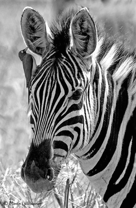 The Whisperer, Hluhluwe, South Africa - ID: 5332570 © Martin L. Heavner