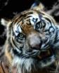 A Happy Tiger
