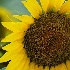 © Donald E. Chamberlain PhotoID# 5384797: Bumblebee Approaching Sunflower