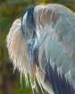 Sleepy Heron