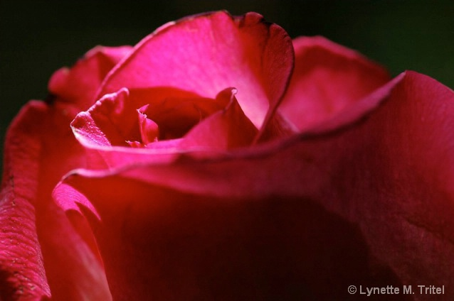 Sun Kissed Rose  - ID: 5428567 © Lynette M. Tritel