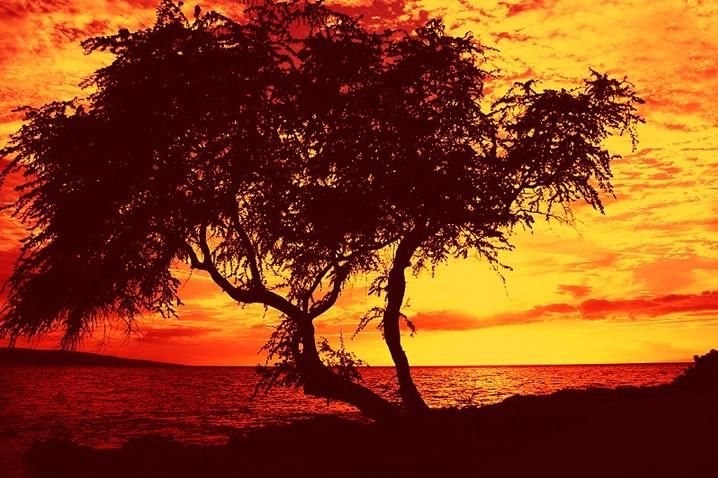 Maui Kiawe - ID: 5445875 © Janine Russell