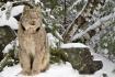 The Lynx in Winte...