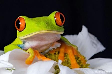 The Red-eyed Tree Frog (Agalychnis callidryas