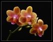 Three Blossoms (P...