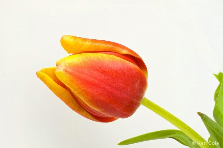 Spring Tulip - ID: 5661690 © Ken Cole