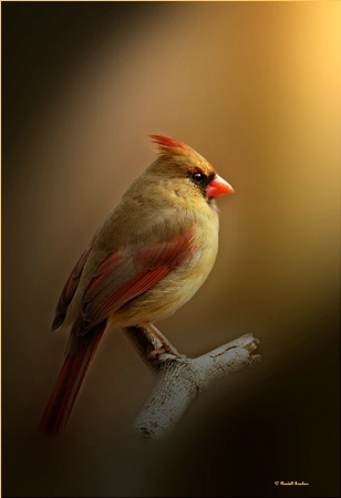 portrait of female cardinal