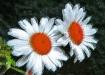 daisy effects