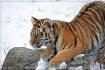 Tiger Cub...