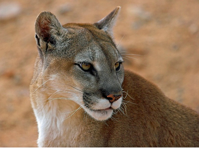 Cougar - ID: 5750006 © Richard L. Smith