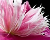 Peony, pink, flow...