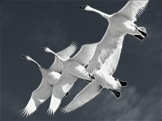 Electric Swans - ID: 5776763 © Richard L. Smith