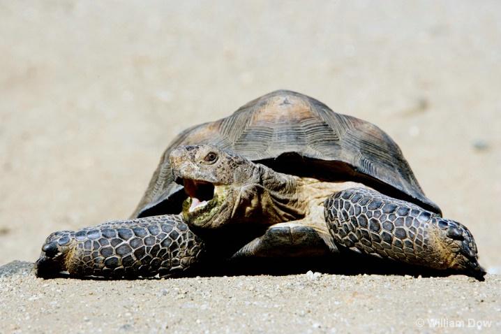 speedy_desert_tortoise - ID: 5781351 © William Dow