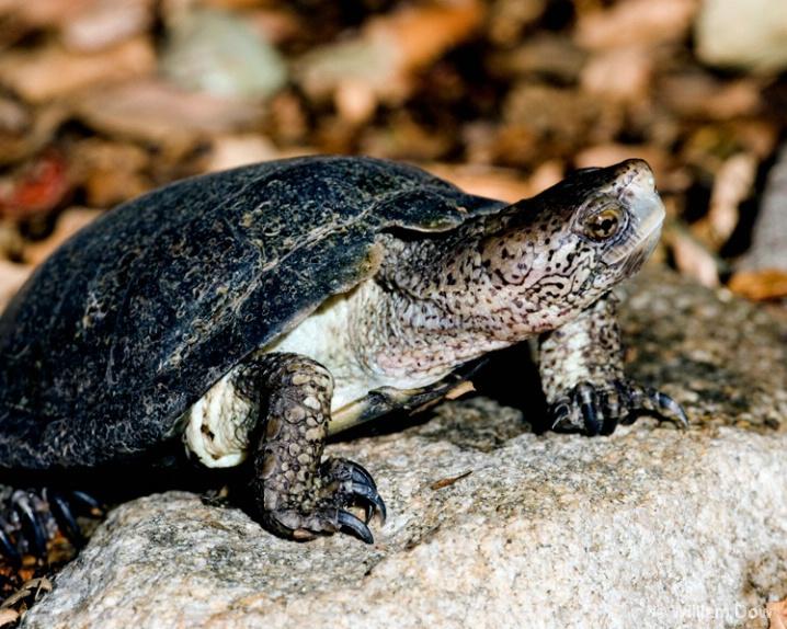 western_pond_turtle - ID: 5781354 © William Dow