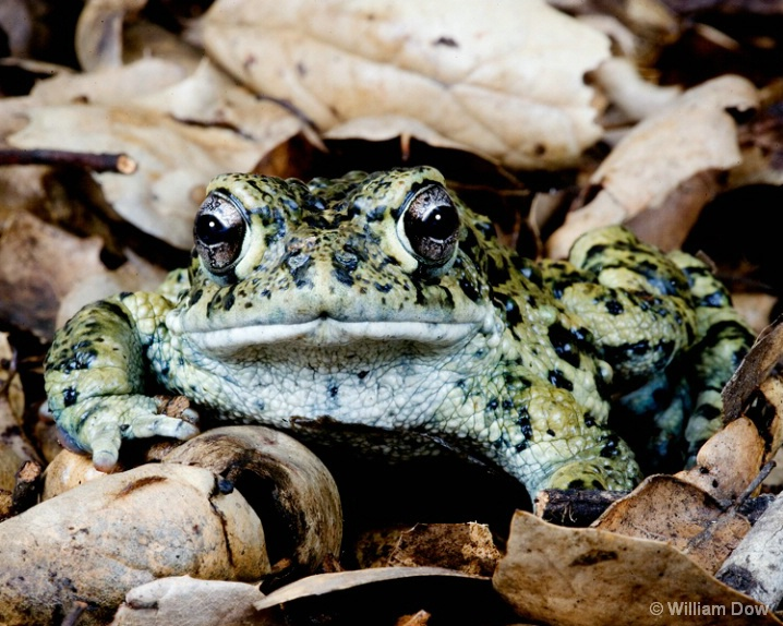western_toad - ID: 5781356 © William Dow
