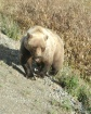 Madame Grizzly