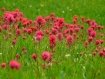 Magenta Meadow