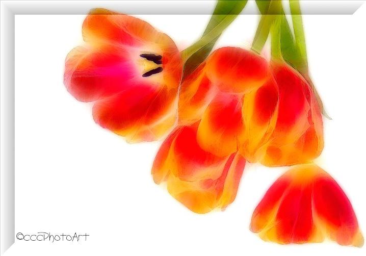 Orange Crush Tulips