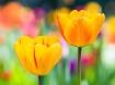 Triumph of Tulip ...