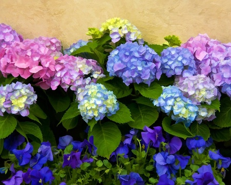 Hydrangea and Pansies