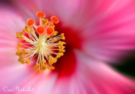 Five Cherry Hibiscus