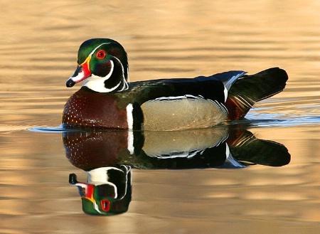 Primed Wood Duck