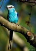 Racquet-Tailed Ro...