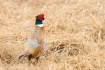 Pheasant in the G...