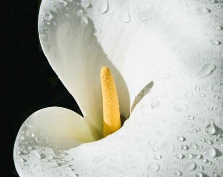 Rainy Day Lily