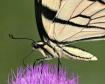 Swallowtail Detai...