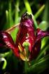 Death of a tulip
