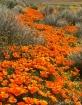 Poppys and Brush