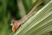 Bearded Gecko