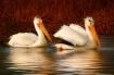 ~ Pelicans in Pro...