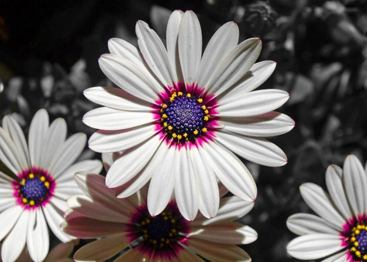 Colorful daisy