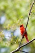 Cardinal in Sprin...