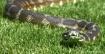 Snake in the Gras...