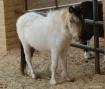 mini horse
