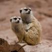 Meerkat Snuggle