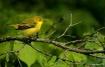 Yellow Warbler 3