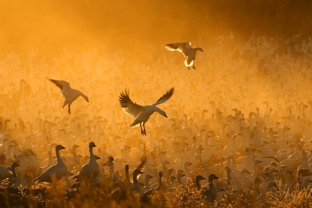 """Photography Contest Grand Prize Winner - May 2008: """"Geese in the Corn Dust"""""""