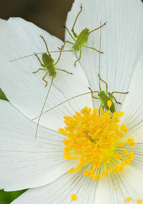 cricket_trio