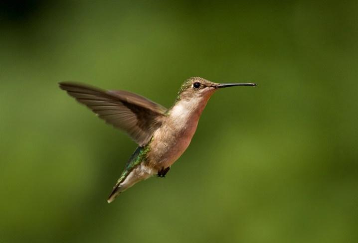hummingbird 5 - ID: 6243783 © Michael Cenci