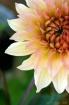 Watercolor Dahlia