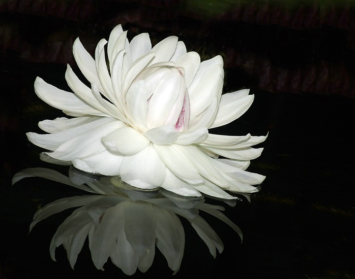 African Water Lilly.